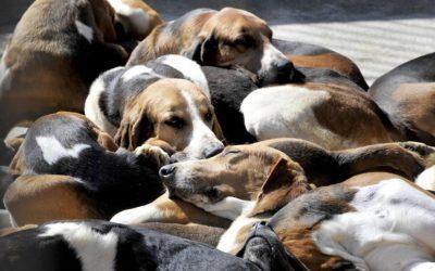Règlement de compte entre chasseurs ? Six chiens de chasse massacrés