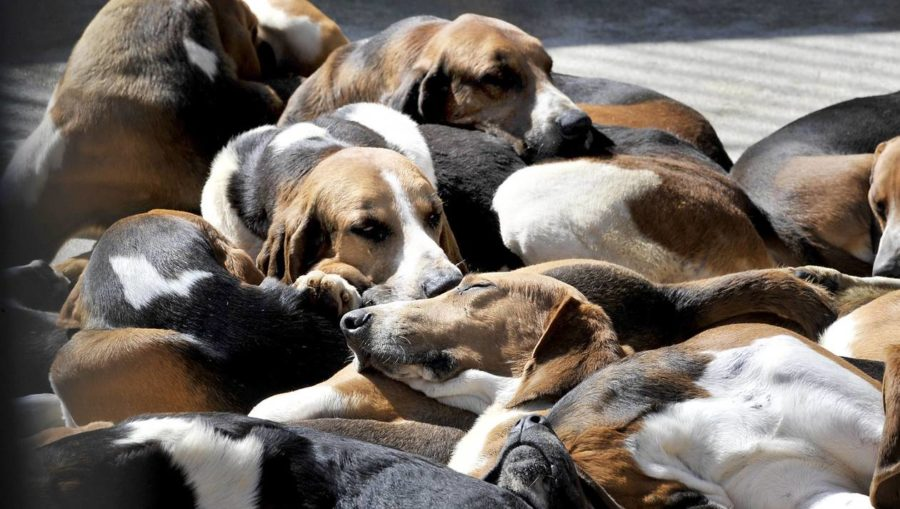 chiens-chasse