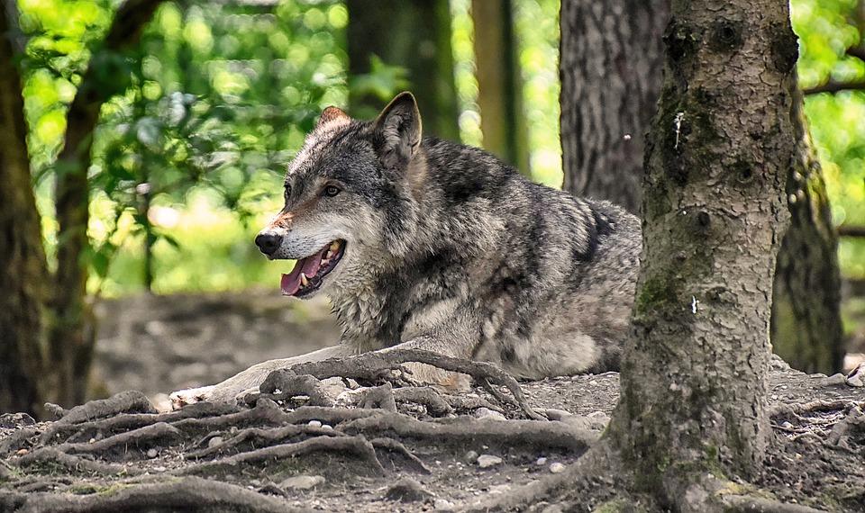 Mobilisation contre le préfet qui veut exterminer le Loup !