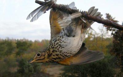 Le Conseil d'Etat interdit la chasse à la glu