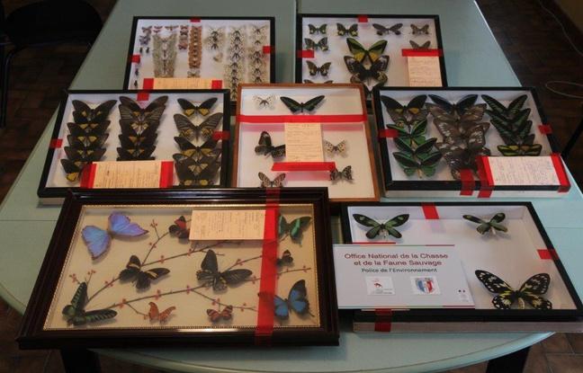 Démantèlement d'un trafic d'insectes rares en Occitanie