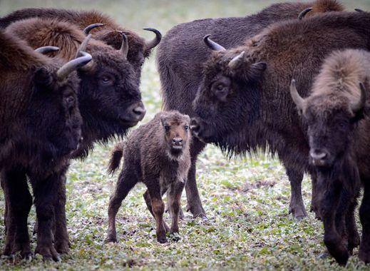 La préfecture de Haute-Savoie fait exterminer 19 bisons