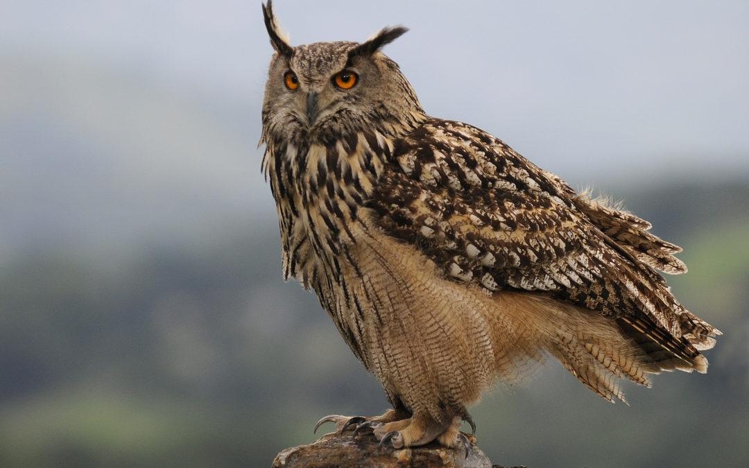 Encore une espèce protégée victime de la chasse !