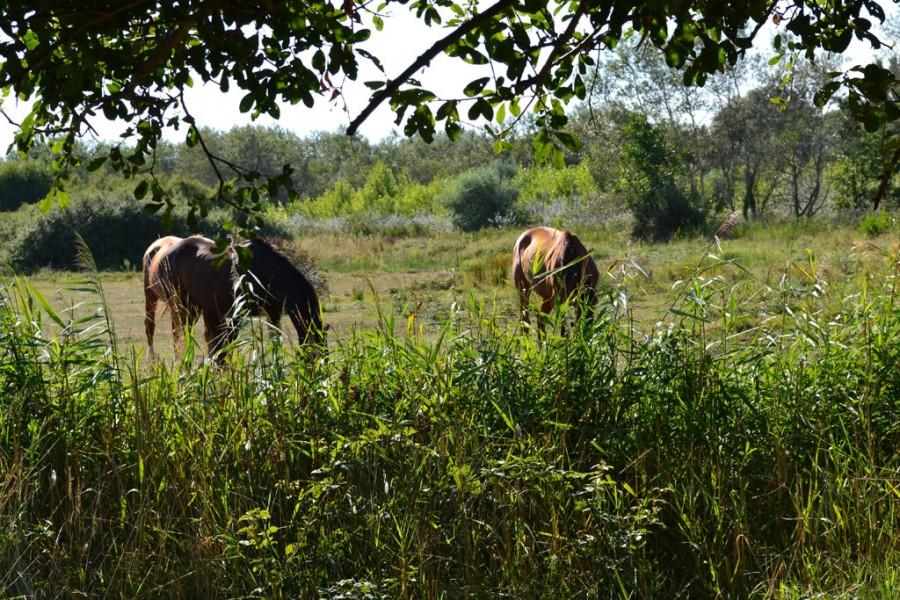 Surveillance des chevaux au pré